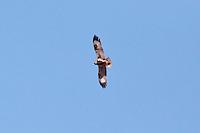 Black-Breasted Buzzard, Camooweal - Tennant Crk Rd, NT, Australia