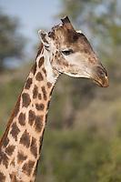 Giraffe Portrait - Timbavati, South Africa