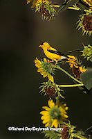 01640-02914 American Goldfinch male (Carduelis tristis) on Common Sunflower (Helianthus annuus)   IL