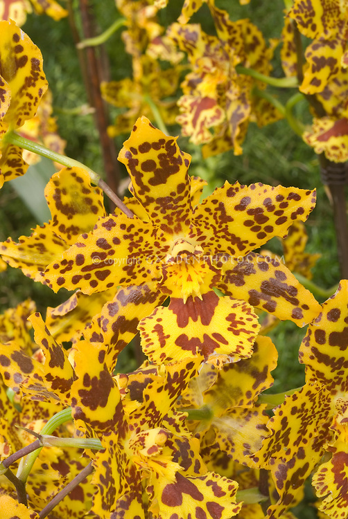 Colmanara Wildcat orchid hybrid flower in dramatic patterning . Correct genus is now Oncostele. Oncostele Wildcat.