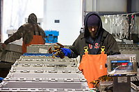 Mat Brake, 39, (right) sorts live lobsters at Island Seafood's receiving facility in Eliot, Maine, USA, on Wed., Jan. 31, 2018. Brake has been working at Island Seafood for almost 12 years. Lobsters are sorted into similar sizes and then moved to a packing facility to be shipped to customers around the world.