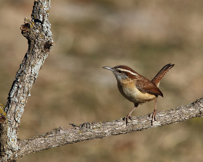This shy bird can be hard to see, but it delivers an amazing number of decibels for its size. It has rich cinnamon plumage, a white eyebrow stripe, and long, upward-cocked tail. This hardy bird has been wintering farther and farther north in recent decades.
