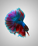 Pictured: Stunning photos show the spectacular colours and flowing dress-like tails of the Betta fish.   The 'Siamese fighting fish' are known to be extremely aggressive despite their beautiful appearance.<br /> <br /> Their tails will flare and become even longer when the notoriously violent fighters compete against other males in the same territory   The unique images were captured in the freshwater trenches of a river in Karawang in West Java, Indonesia.  SEE OUR COPY FOR DETAILS<br /> <br /> Please byline: Andi Halil/Solent News<br /> <br /> © Andi Halil/Solent News & Photo Agency<br /> UK +44 (0) 2380 45880