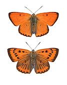 Large Copper - Lycaena dispar - male (top) - female (bottom).
