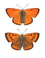 Large Copper - Lycaena dispar - male (top) - female (bottom).