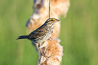 Savannah sparrow, Passerculus sandwichensis, perched on cattail head, Typha sp., Nova Scotia, Canada
