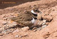 0510-1128  Killdeer, Adult Sitting on Eggs, Charadrius vociferus  © David Kuhn/Dwight Kuhn Photography