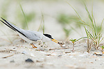 Least Tern (Sterna antillarum) adult feeding one of two chicks near nest, Nickerson Beach, Long Island, New York, USA