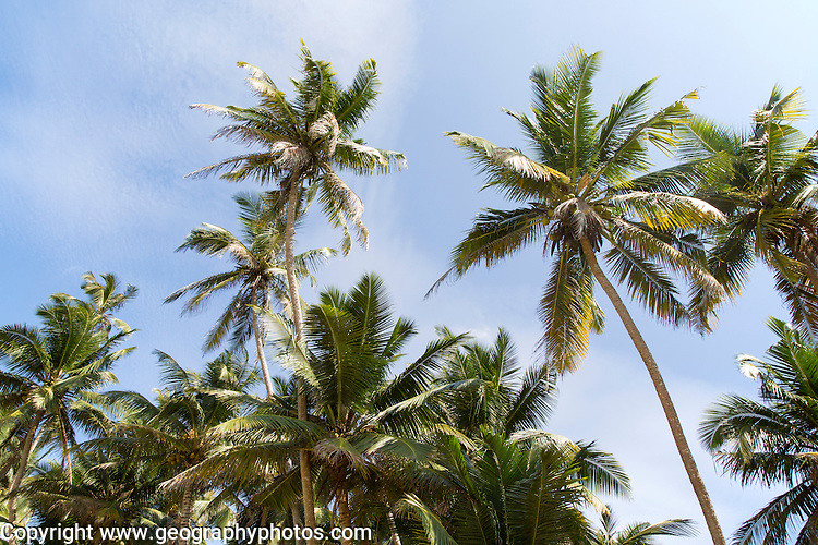 Looking up at palm trees and blue sky, Mirissa, Sri Lanka, Asia