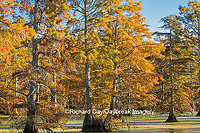 63895-14214 Baldcypress trees in fall, Horseshoe Lake State Fish and Wildlife Areas, Alexander Co., IL