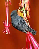Slaty flowerpiercer male