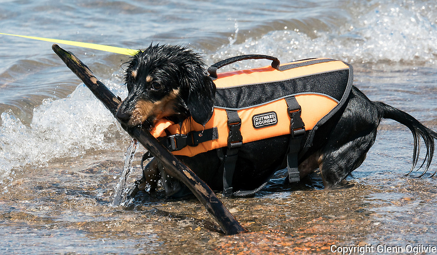 Nick Desroches, of Sarnia bought a new life jacket for his 14 month-old dachshund Oscar and tried it out during an outing to the beach. &quot;It<br /> 's the first time swimming this year,&quot; he said &quot; I wanted to see how he liked the new life jacket.&quot;   Despite the chilly water it was obvious that both Nick and Oscar found the experience uplifting.