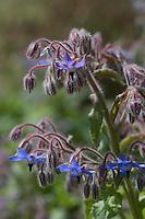 Europe/France/Aquitaine/40/Landes/ Lencouacq:   Fleur de Bourrache dans  le Jardin Potager de la Ferme Auberge du Jardin de Violette chez Violette Valés - agricultrice et restauratrice