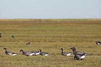 Ringelgans, Ringel-Gans, Ringelgänse, Trupp im Vorland an Nordseeküste, fressen auf Salzwiese, Gans, Branta bernicla, brent goose