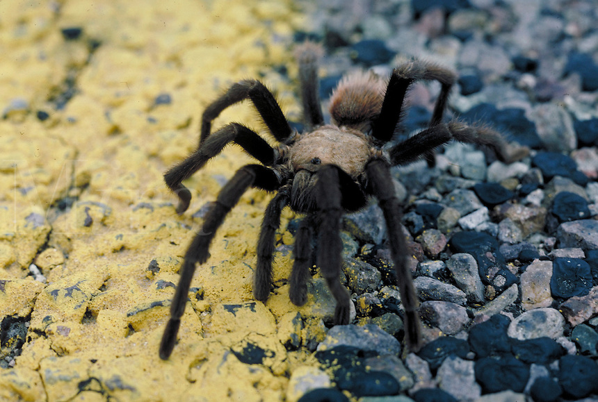 Close-up of rose haired tarantula spider on road pavement, Big Bend National Park, Texas. Texas, Big Bend National Park.