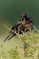 Bronzed Cowbird (Molothrus aeneus), males, Dinero, Lake Corpus Christi, South Texas, USA