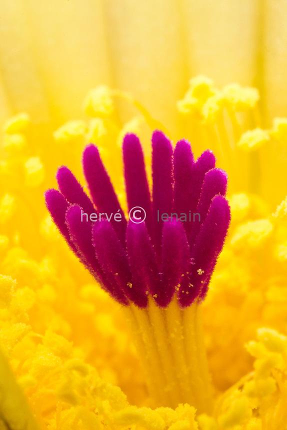 Notocactus buiningii, stigmates rouge et étamines jaunes // flower of cactus, Notocactus buiningii, red stigma and yellow stamens.