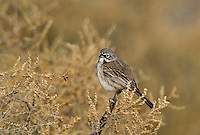 578830007 a wild sage sparrow amphispiza belli nevadensis perches on a sagebrush plant in kern county california