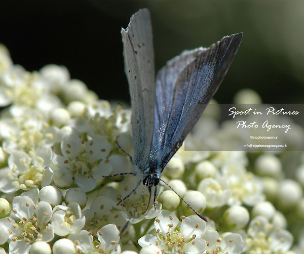 A Common Blue butterfly on a Pyracantha flower