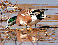 American widgeon adult male in breeding plumage feeding