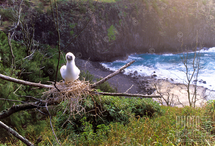 Red-footed booby chick on nest, Kilauea Point National Wildlife Refuge, Kauai north shore.