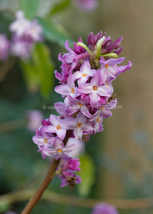 Daphne bholua 'Peter Smithers' in spring bloom, closeup macro of purple lavender and white flowers