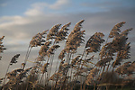 Seed heads of reeds against stormy cloudy winter sky, Hollesley marshes, Suffolk, England