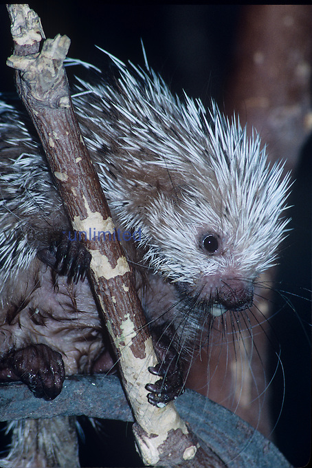 Prehensile-Tailed Porcupine climbing (Coendou prehensilis), Central to Northern South America.