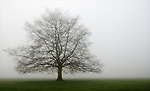 Tree in morning mist on Durdham Downs, Bristol