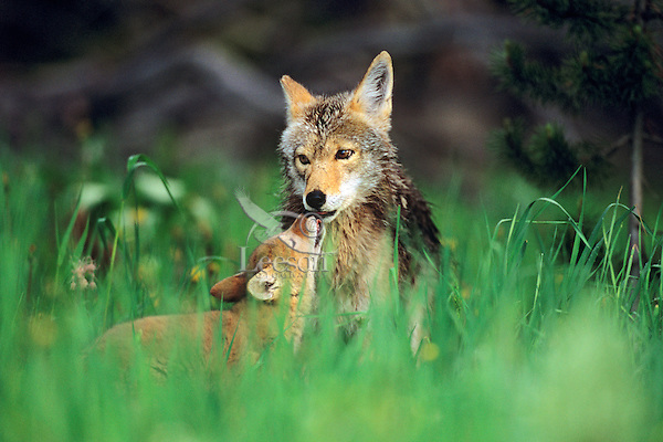Coyote pup greets (poking/licking around mouth stimulates adult to regurgitate food) mom.  Western U.S., June.