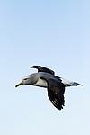 Salvin's Albatross (Thalassarche salvini) flying, Kaikoura, South Island, New Zealand