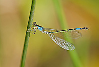 337850021 a wild female painted damsel damselfly heteragrion heterodoxum  perches on a water plant on the membis river near royal john mine road grant county new mexico united states..GPS:N 32.73066.         W -107.86653