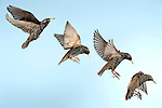Starling, Sturnus Vulgaris, UK, in flight, flying, high speed photographic technique, Digital Composite, garden, blue sky background, cut out