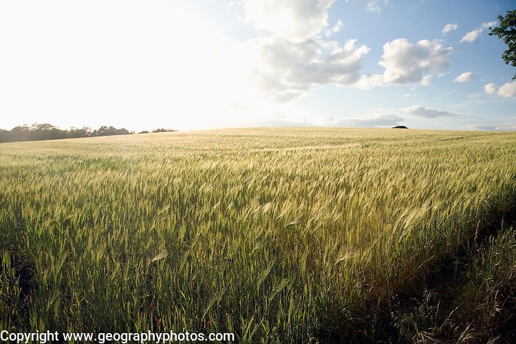 Field of barley in bright sunshine, Shottisham, Suffolk, England, UK