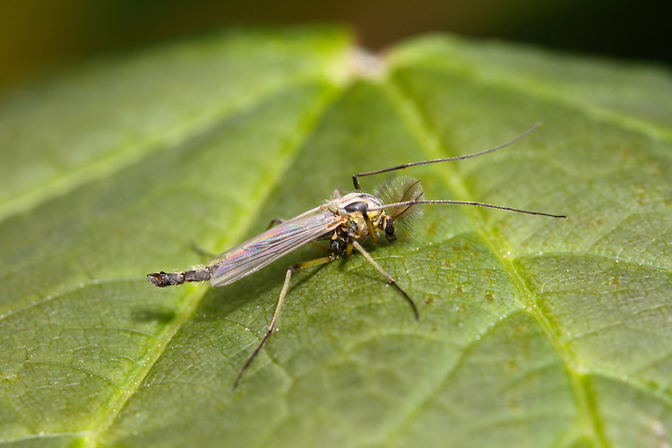 Mosquito - Anopheles claviger - Male.