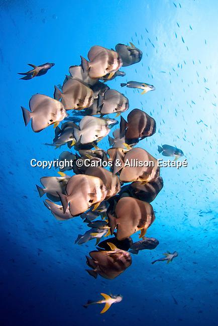 Platax teira, Longfin spadefish, Raja Ampat, Indonesia