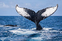 humpback whale, Megaptera novaeangliae, tail-slapping, Silver Bank, Dominican Republic, Caribbean Sea, Atlantic Ocean