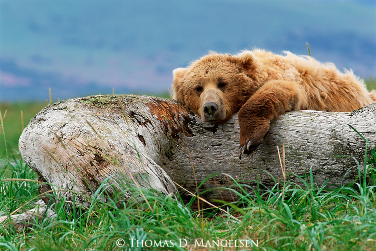 Stretching out after a meal of sockeye salmon, a brown bear takes full advantage of sun-warmed driftwood, where he lazes away the afternoon.