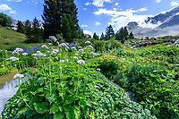 France, Hautes-Alpes (05), Villar-d'Arène, jardin alpin du Lautaret, zone des plantes des Pyrénées (valériane des Pyrénées, lis des Pyrénées...) et en fond le versant du Combeynot