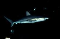 Dusky shark, Carcharhinus obscurus