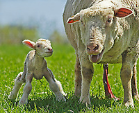 SHEEP<br /> Ewe And Calf<br /> Mother sheep with newborn calf. Placental afterbirth is still evident on mother and umbilical cord on calf.
