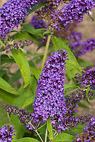 Buddleja davidii 'Purple Emperor'