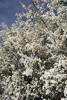 Blackthorn Prunus spinosa Rosaceae Height to 6m <br /> Densely branched shrub. Bark Blackish-brown. Branches Spreading, with spiny twigs. Leaves Ovate, toothed, to 4.5cm long. Reproductive parts Flowers white, 5-petalled, to 17mm across; produced prolifically (Feb-Mar). Fruits (Sloes) to 1.5cm long, ovoid, blue-black with a bloom. Status Common.