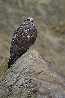 Rough-legged Hawk perched on a rock