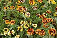 Zinnia 'Aztec Sunset'