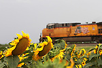 CHAD PILSTER &bull;&nbsp;Hays Daily News<br /> <br /> A train heads westbound past a field of sunflowers near the Midland Marketing Coop grain elevator on Monday, August 5, 2013, in Toulon, Kansas. According to Wikipedia, to grow best, sunflowers need full sun. They grow best in fertile, moist, well-drained soil with heavy mulch. In commercial planting, seeds are planted  about 1.5 ft and 1 in deep.