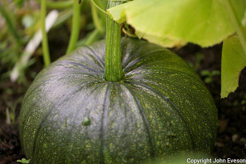 Green pumpkin, Chipping, Lancashire.