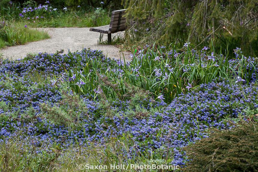 Ceanothus hearstorium 'King Sip' flowering California native groundcover shrub, San Francisco Botanical Garden