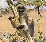 Vervet Monkey in The Ngorongoro Crater,.(Cercopithecus aethiops).August 18, 2006. © Fitzroy Barrett.