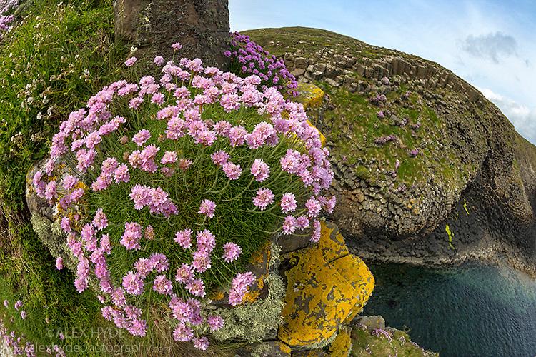 Thrift {Armeria maritima} growing on basalt sea cliffs, Isle of Staffa, Inner Hebrides, Scotland, UK. June.